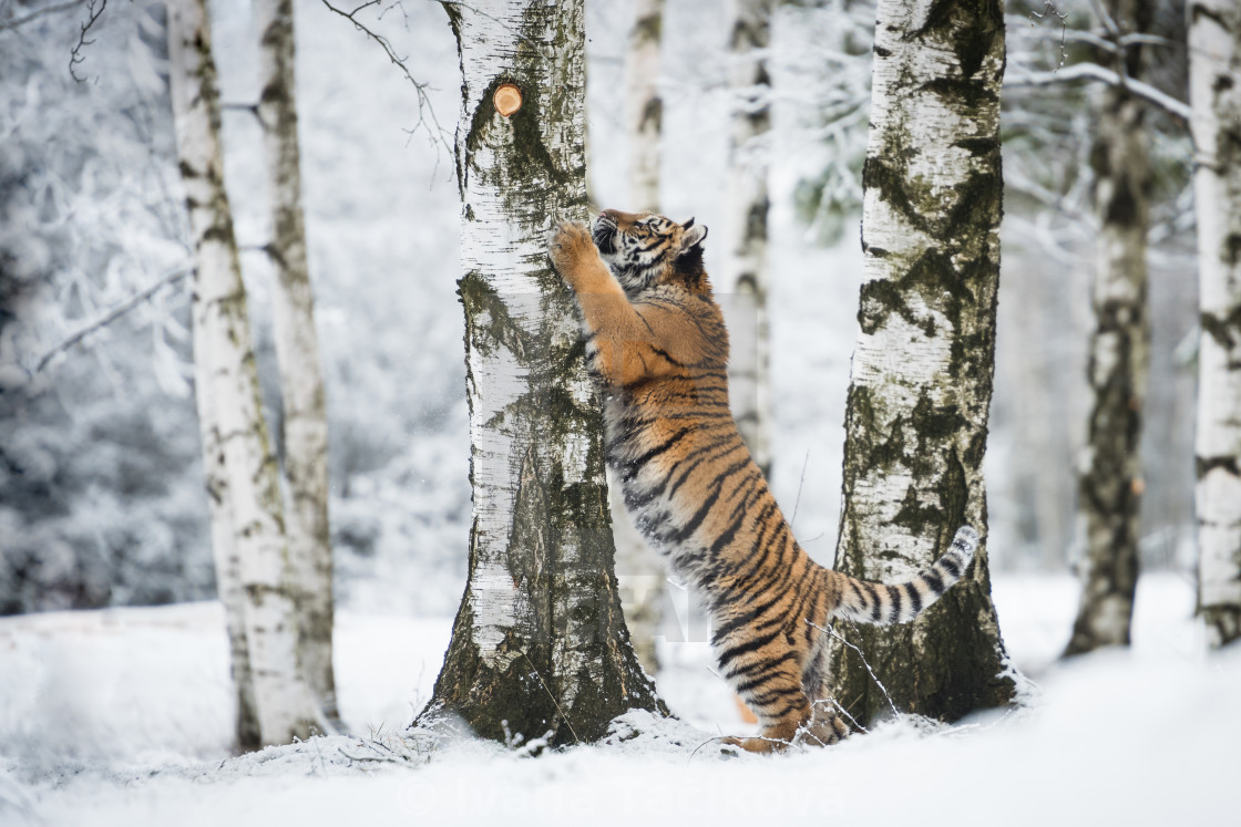 """""""Young Siberian tiger in snow"""" stock image"""