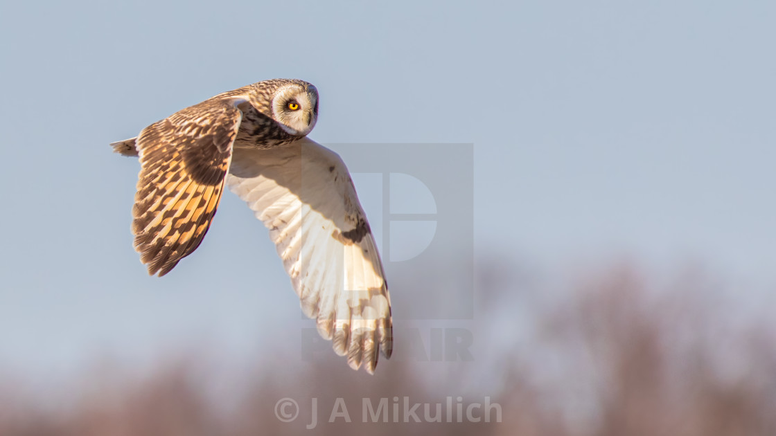 """Short-eared Owl in Flight"" stock image"