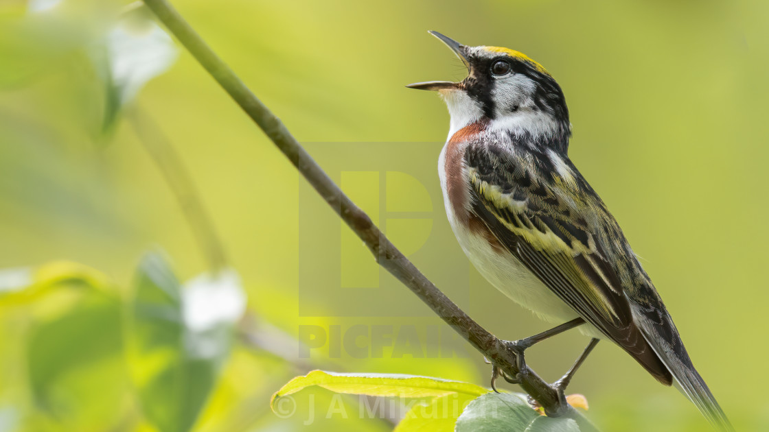 """Chestnut-sided Warbler"" stock image"