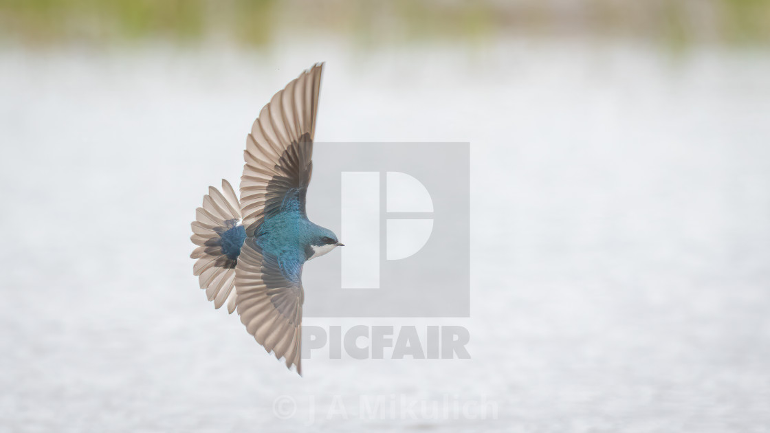 """Tree Swallow"" stock image"