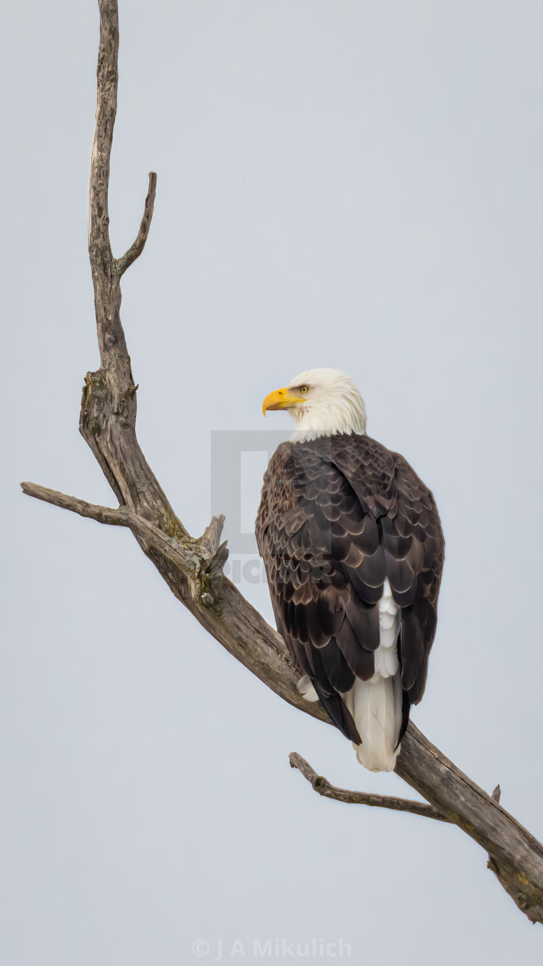 """Bald Eagle perched on a branch"" stock image"