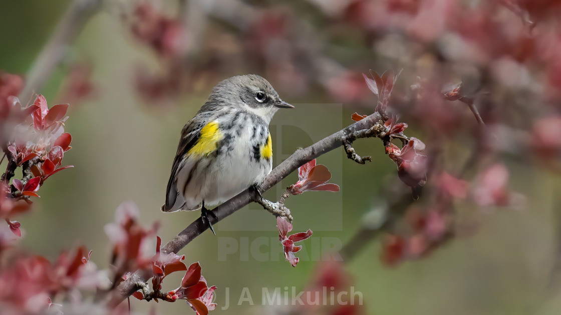 """Yellow-rumped Warbler perched within blossoms"" stock image"