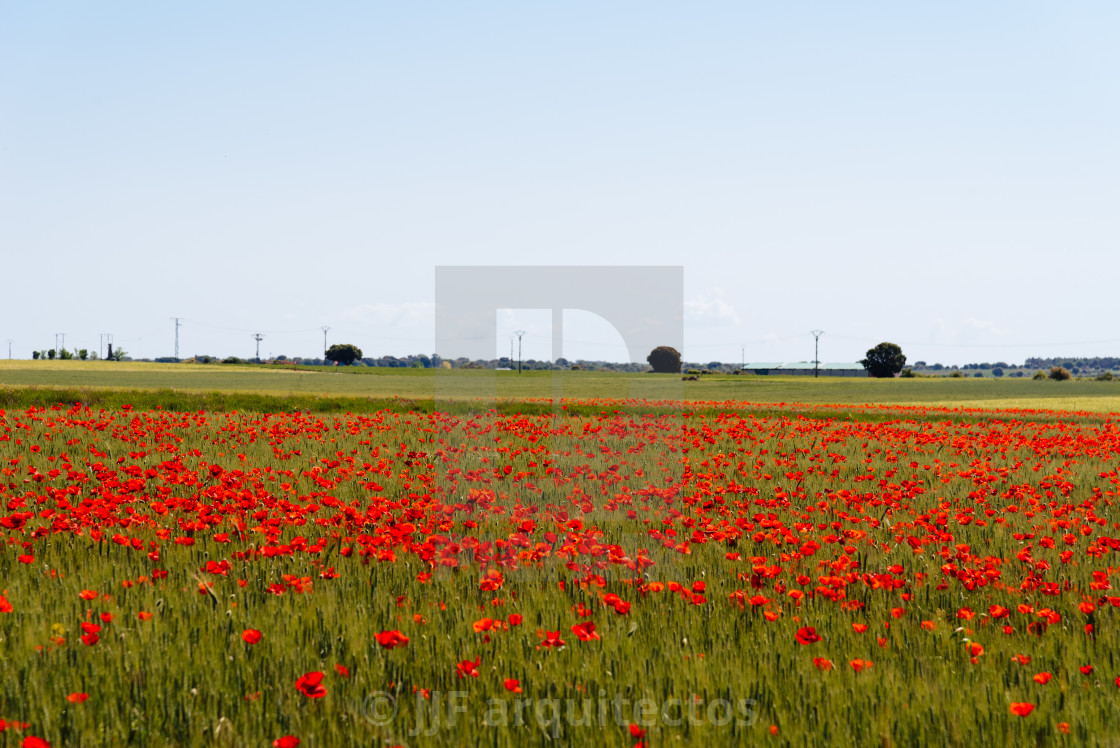 """""""Wild Red poppies field in spring time"""" stock image"""
