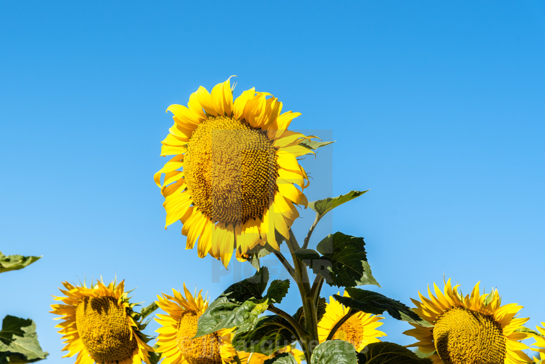 """""""Summer sunflower field and blue sky natural background"""" stock image"""