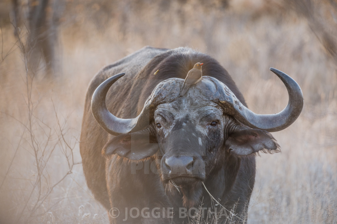 """""""Portrait of an African or Cape buffalo (Syncerus caffer), South Africa"""" stock image"""