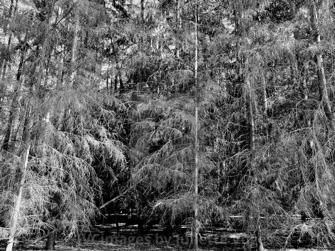 """""""Wispy Trees"""" stock image"""