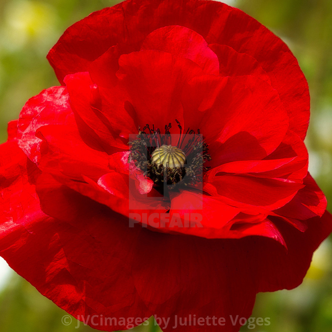 """Single Red Poppy"" stock image"
