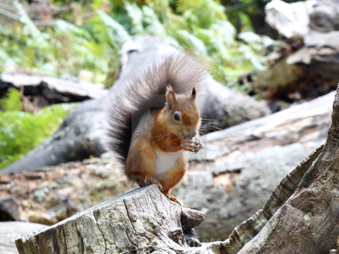 """""""Little Red Squirrel"""" stock image"""