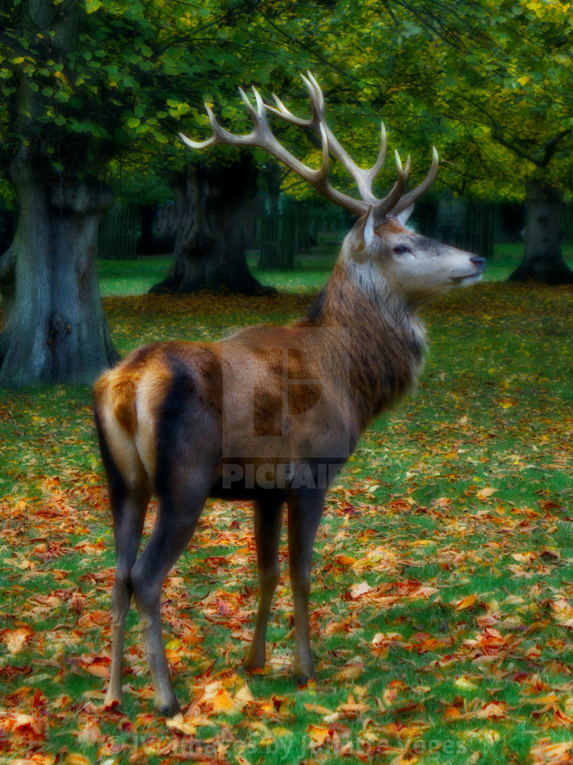 """""""Red Stag Standing"""" stock image"""