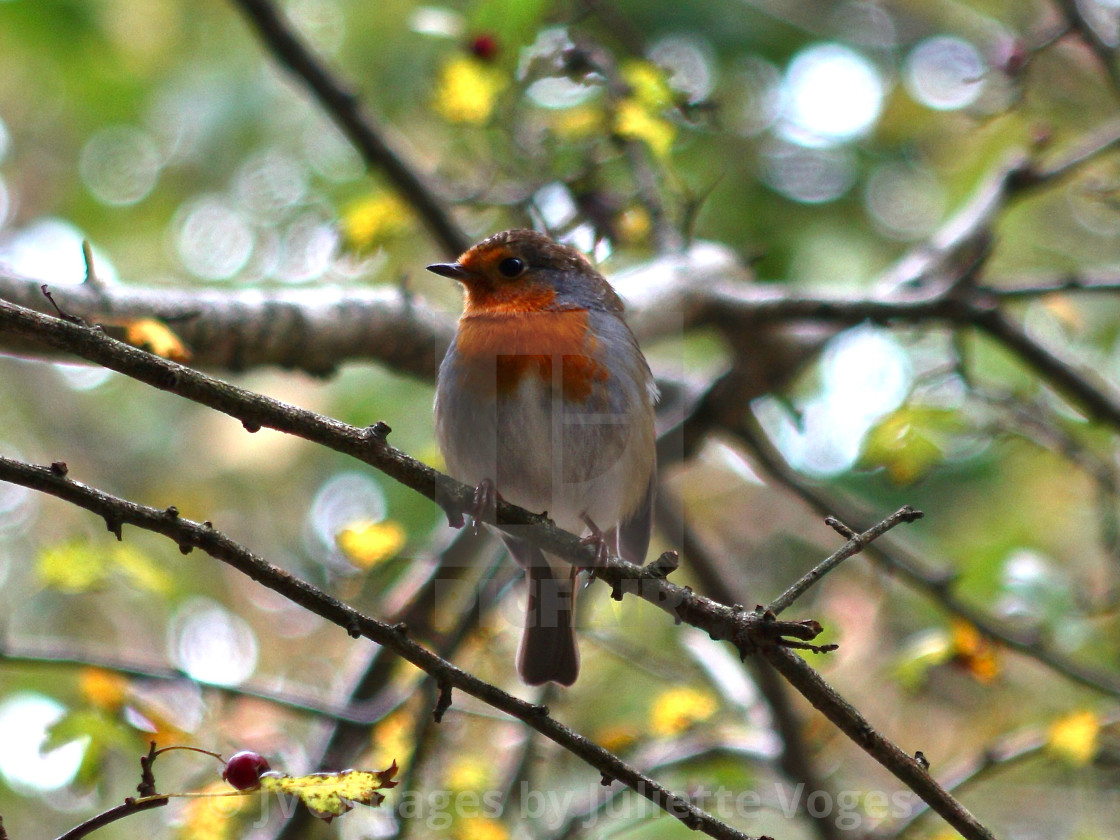 """""""Little Red Robin On A Branch"""" stock image"""