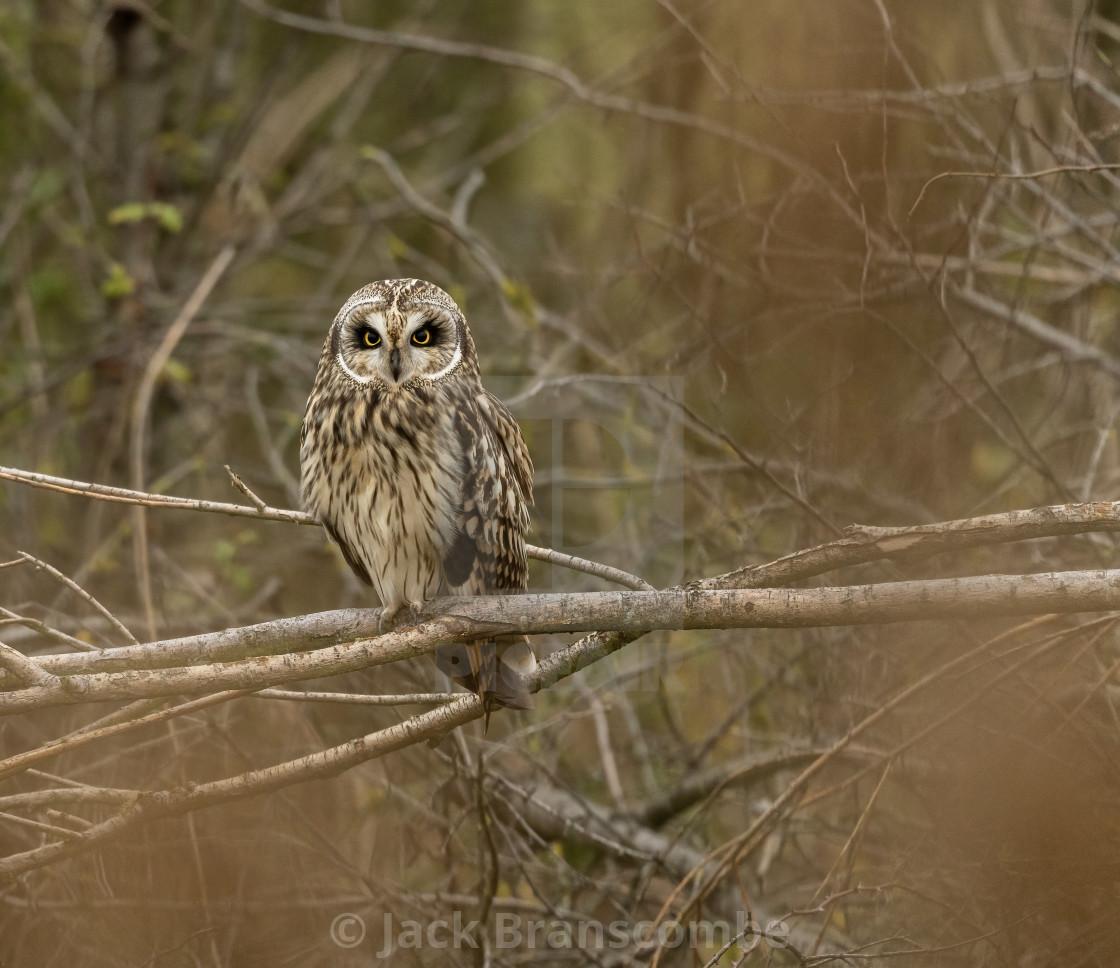 """""""Short eared owl."""" stock image"""