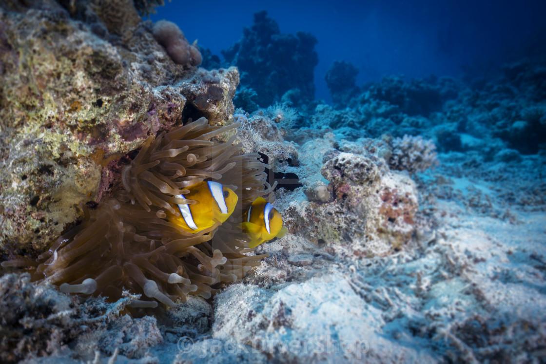 """""""Clownfish 03"""" stock image"""