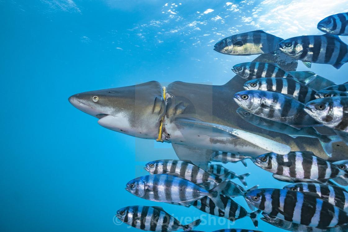 """""""Hurt shark 04"""" stock image"""