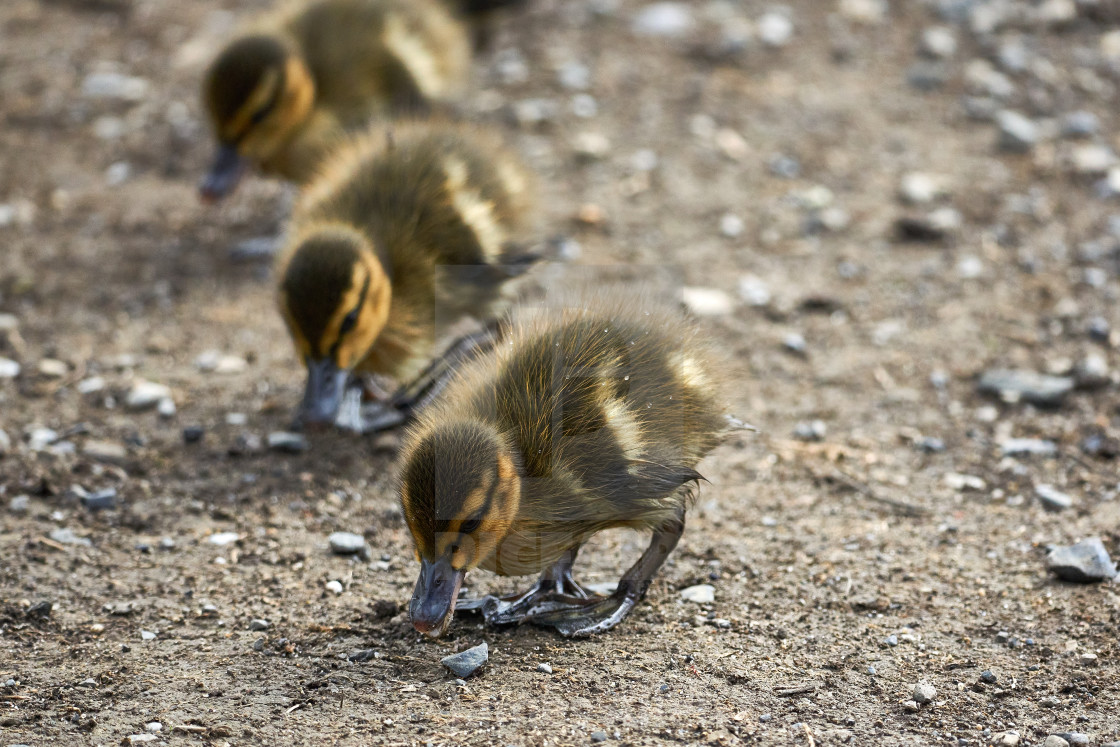 """""""Ducklings in a row"""" stock image"""