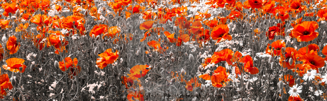 """""""Poppies"""" stock image"""