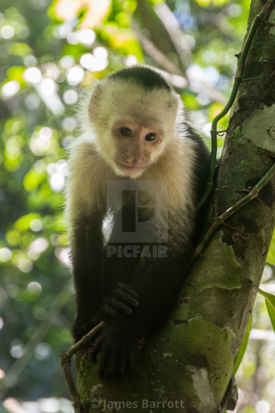 """White Faced Capuchin"" stock image"