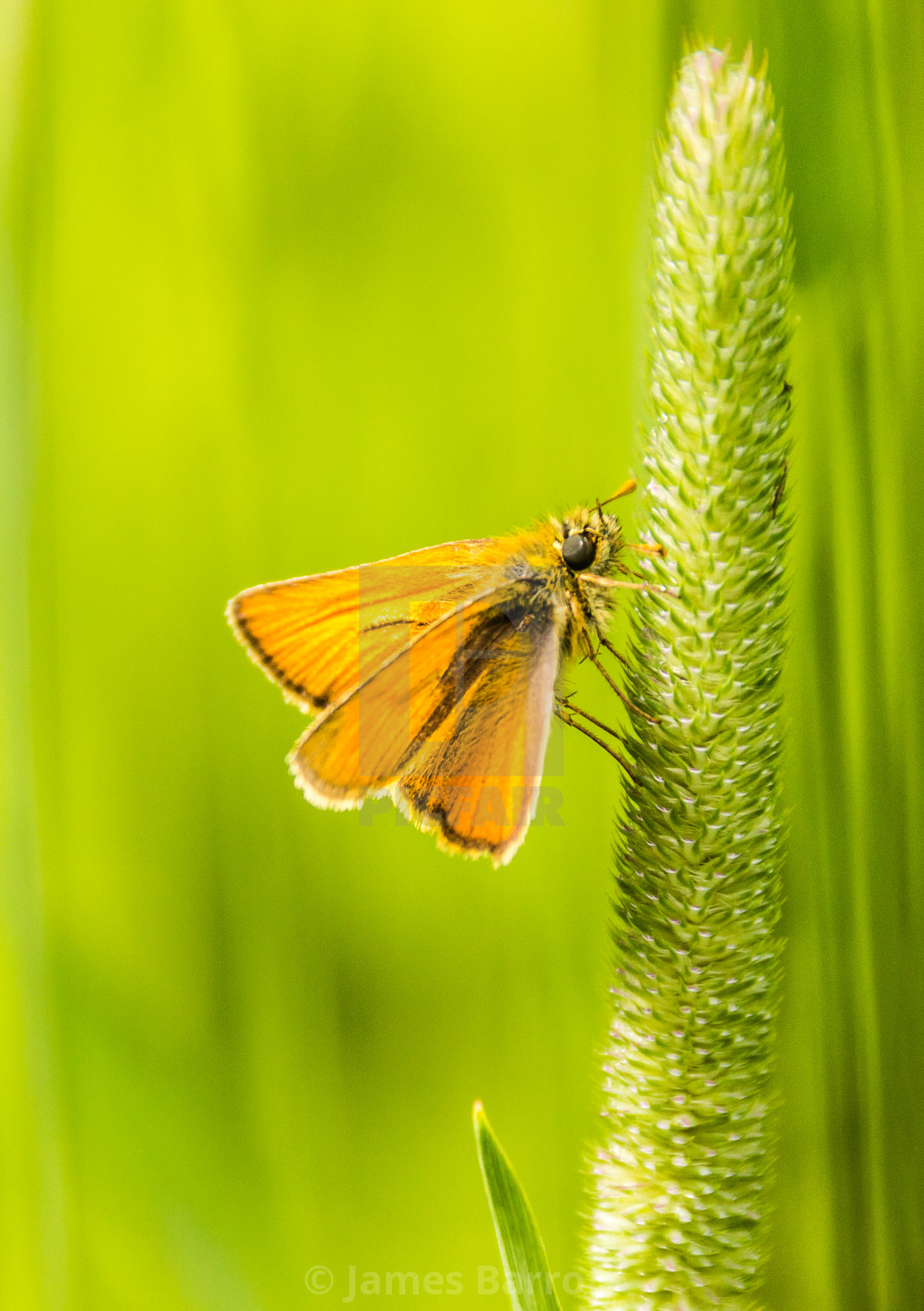 """Small skipper"" stock image"