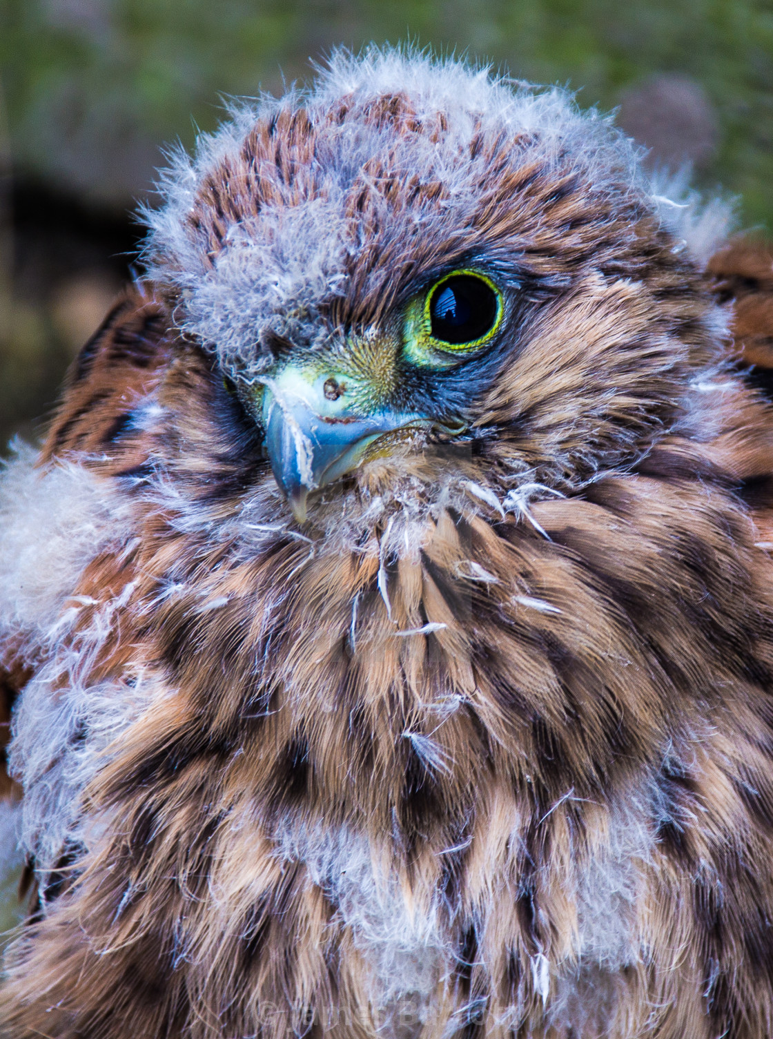 """Fledgling Kestrel"" stock image"