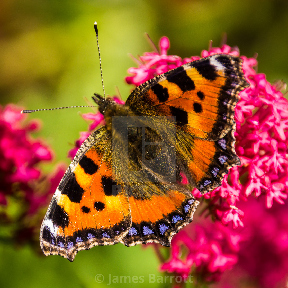 """Small Tortoiseshell butterfly"" stock image"