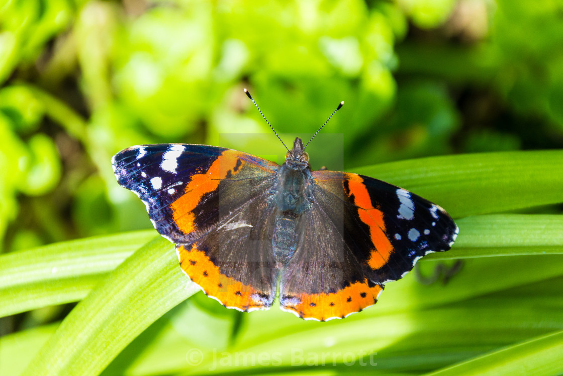 """Red Admiral butterfly"" stock image"