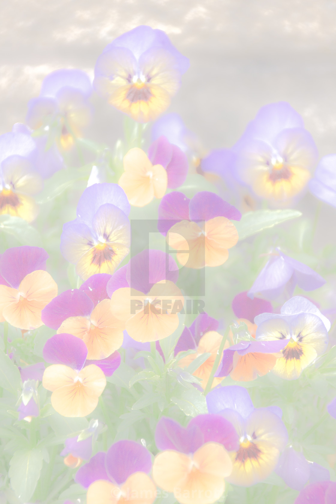 """Pansies"" stock image"