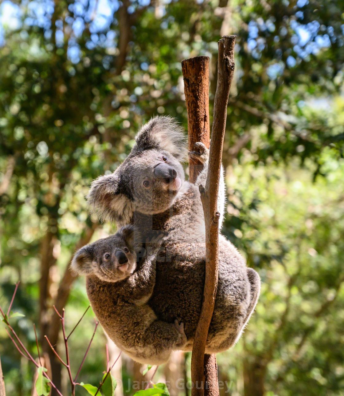 """Koala-ty time"" stock image"
