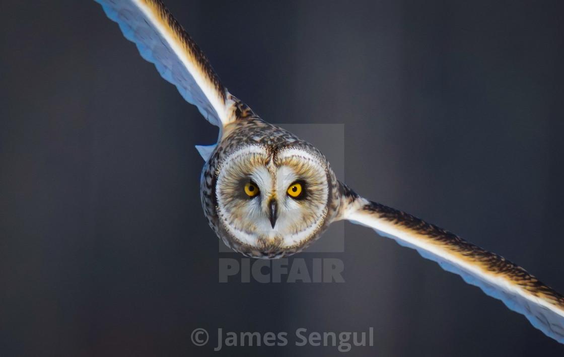"""""""Short eared Owl 2"""" stock image"""