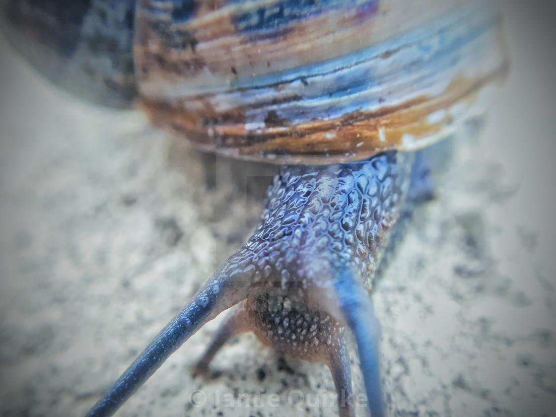 """Common Garden Snail"" stock image"