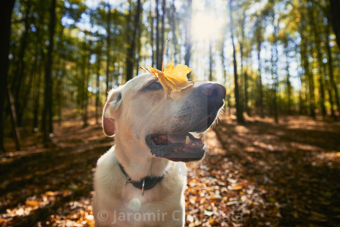 """Happy dog in autumn forest"" stock image"