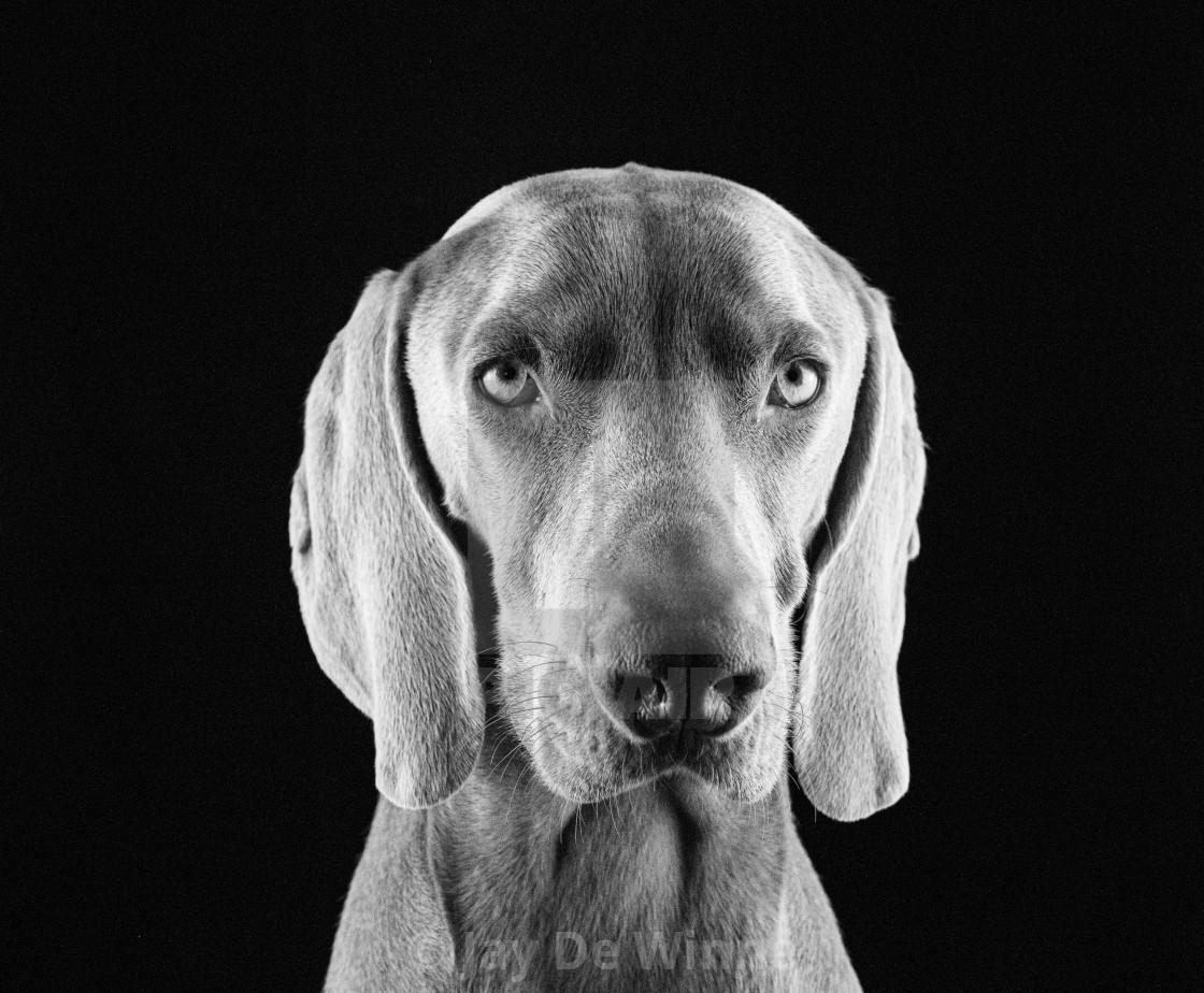 """""""Weimaraner Portrait"""" stock image"""