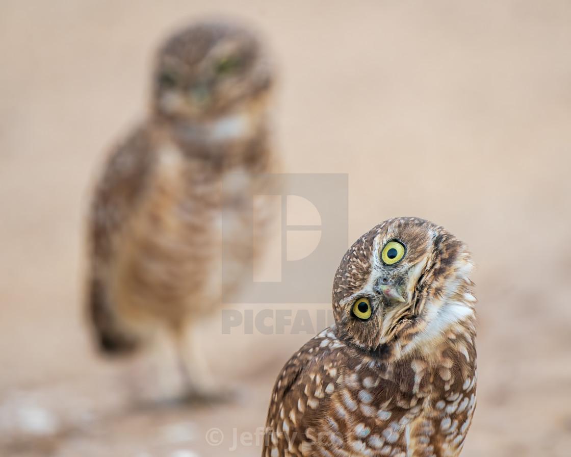 """""""Burrowing owl look 3"""" stock image"""