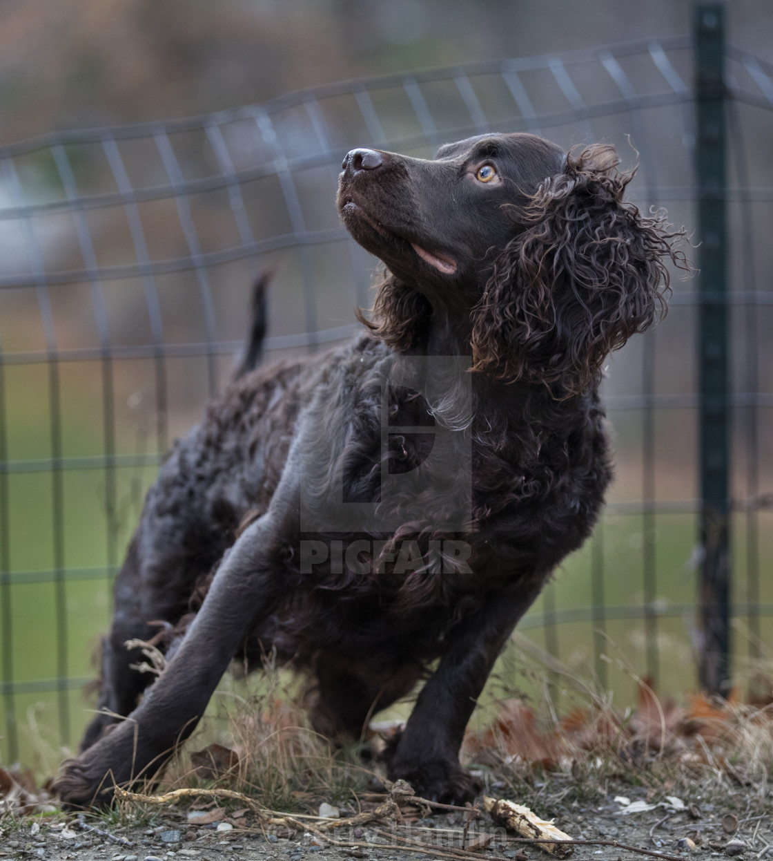 """Tarquin at the Fence"" stock image"