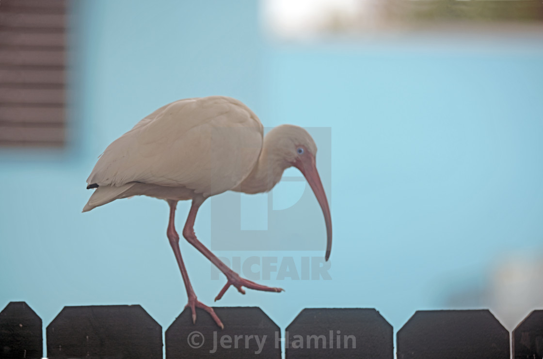 """Ibis on a Fence"" stock image"