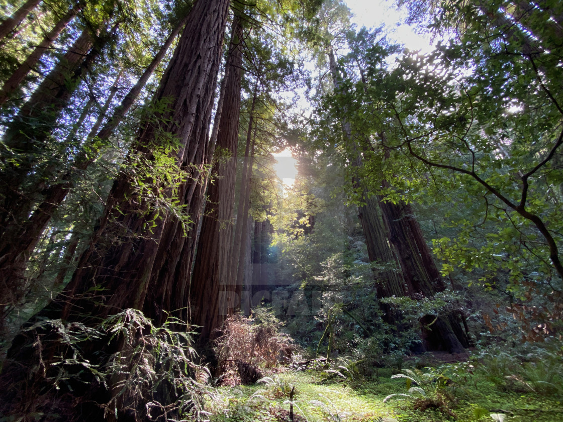 """""""Sunny glade among towering redwoods"""" stock image"""