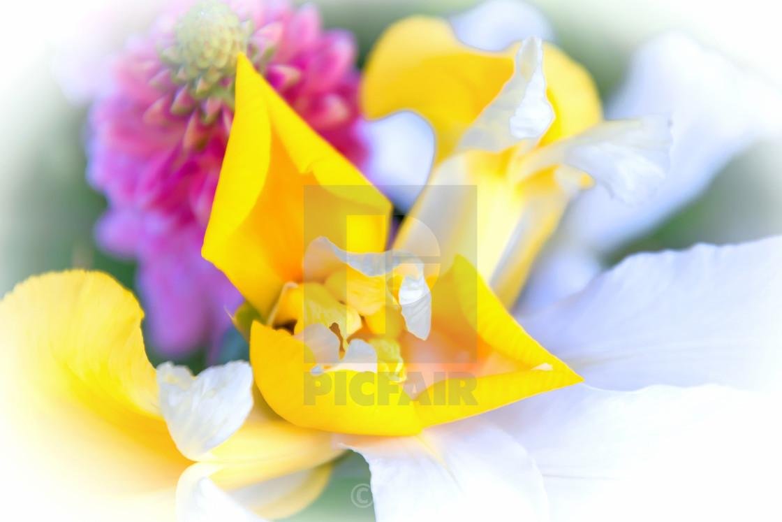"""""""Hello Iris"""" stock image"""