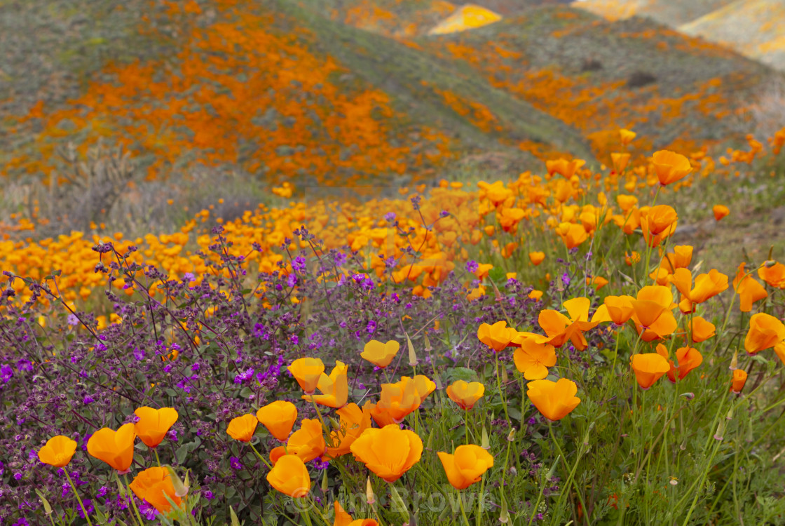 """Superbloom of poppies"" stock image"