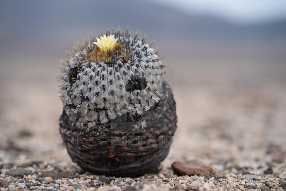 """""""Cactus Copiapoa"""" stock image"""