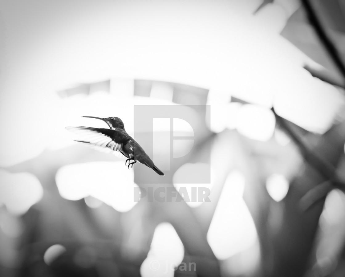 """Flight of the Hummingbird"" stock image"