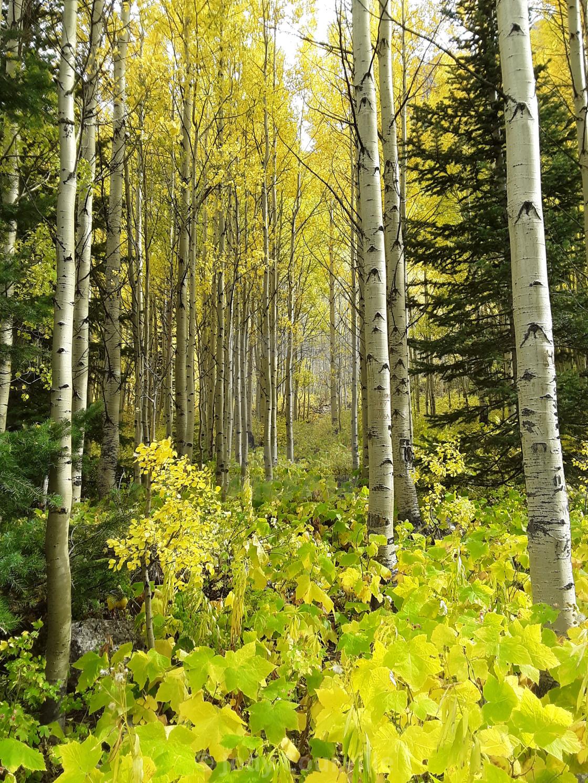 """""""Aspen forest"""" stock image"""