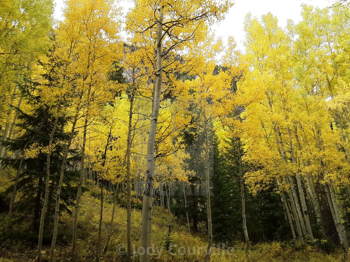 """Aspen grove"" stock image"
