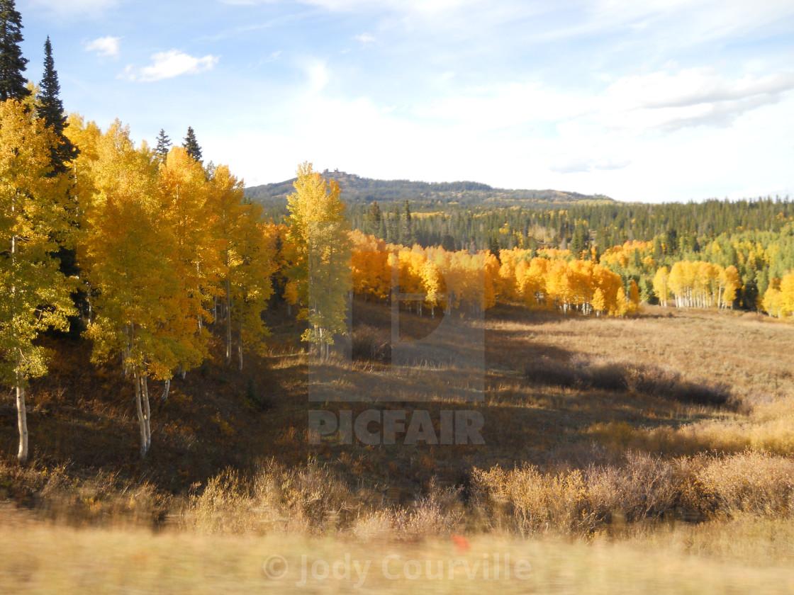 """Aspen trees"" stock image"