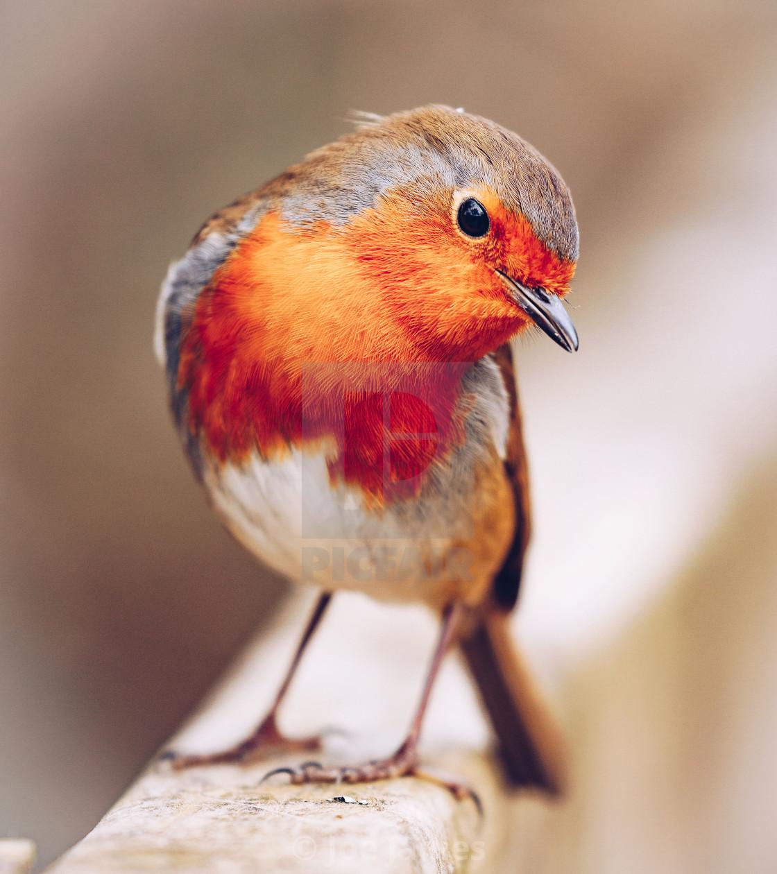 """Posing Robin"" stock image"