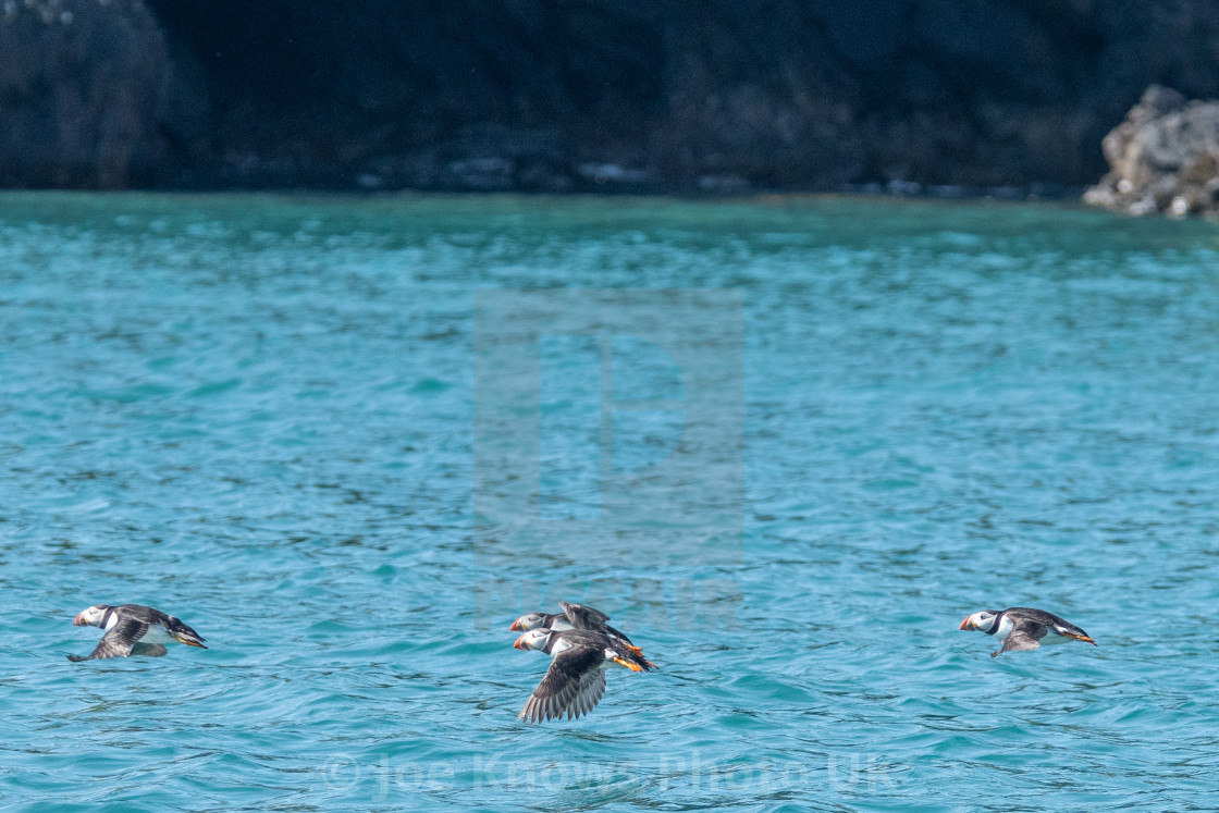 """""""Low flying puffins"""" stock image"""