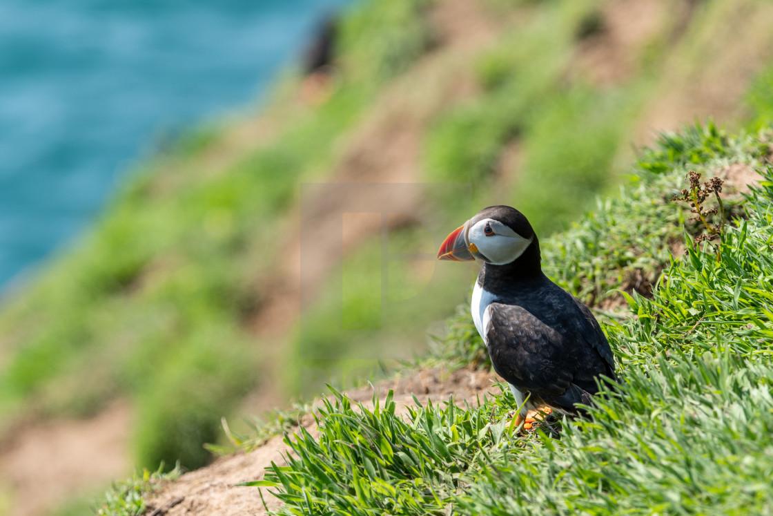 """Skomer Island Puffin, oceanic view"" stock image"