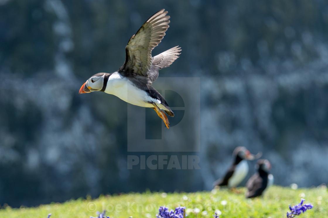 """""""Puffin Landing at Skomer Island"""" stock image"""