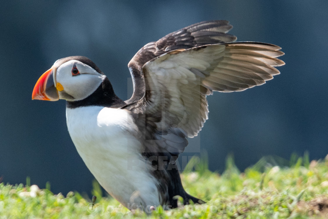 """""""Wing stretch by Puffin on Skomer Island"""" stock image"""