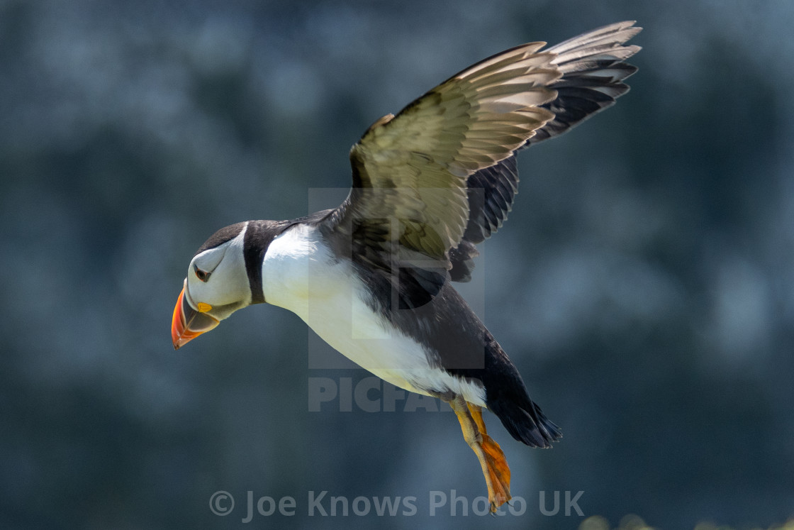 """""""Close up of Puffin in flight, coming in to land - Skomer Island"""" stock image"""