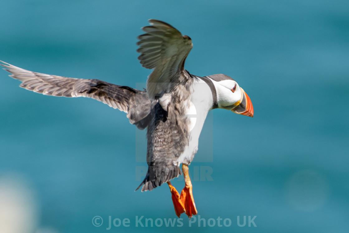 """Skomer Island Puffin in flight over ocean"" stock image"