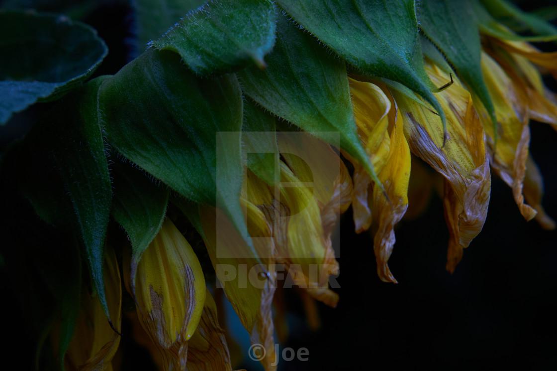 """Wilting Sunflower"" stock image"