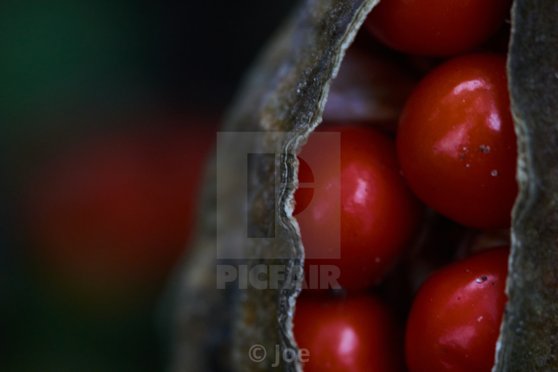 """""""Close-Up of a Seed Pod"""" stock image"""